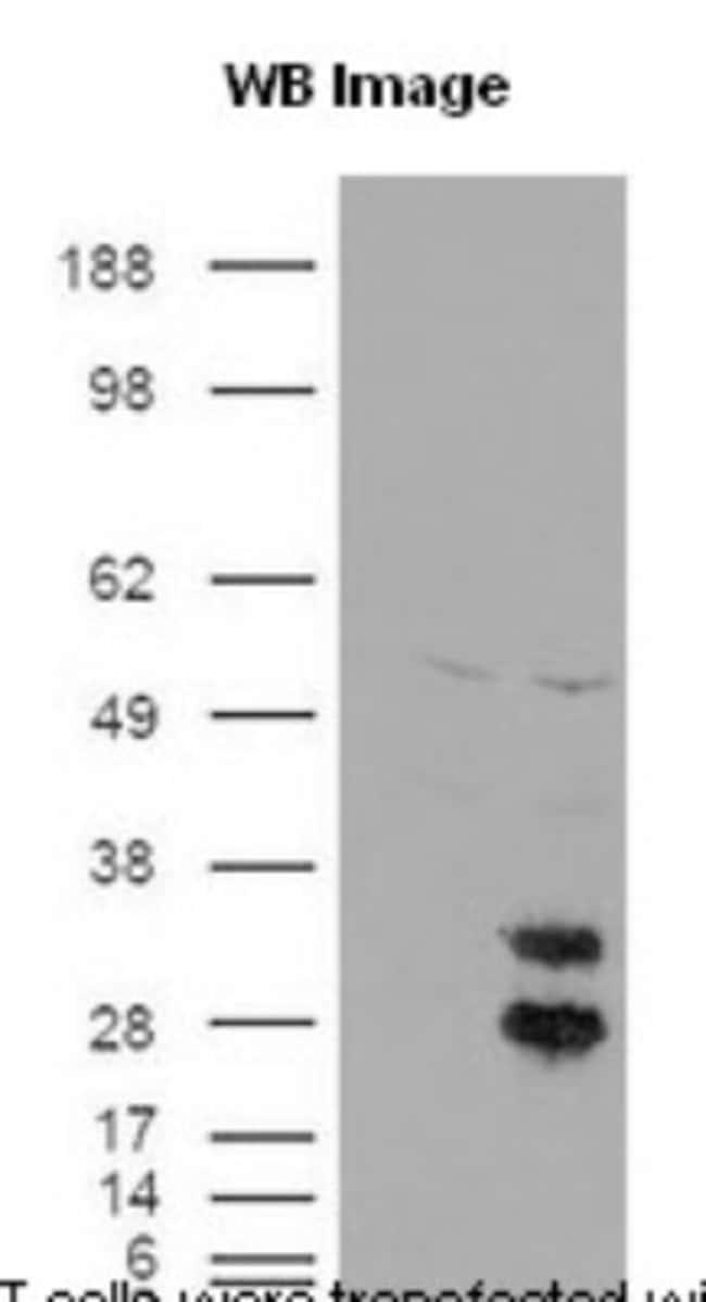 anti-FE65, Polyclonal, Novus Biologicals:Antibodies:Primary Antibodies