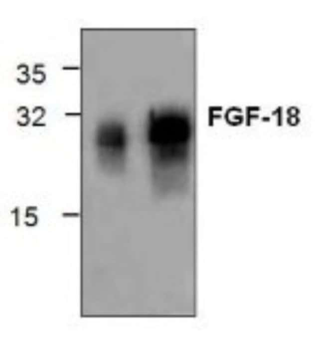 anti-FGF18, Polyclonal, Novus Biologicals 0.1mg; Unlabeled:Life Sciences
