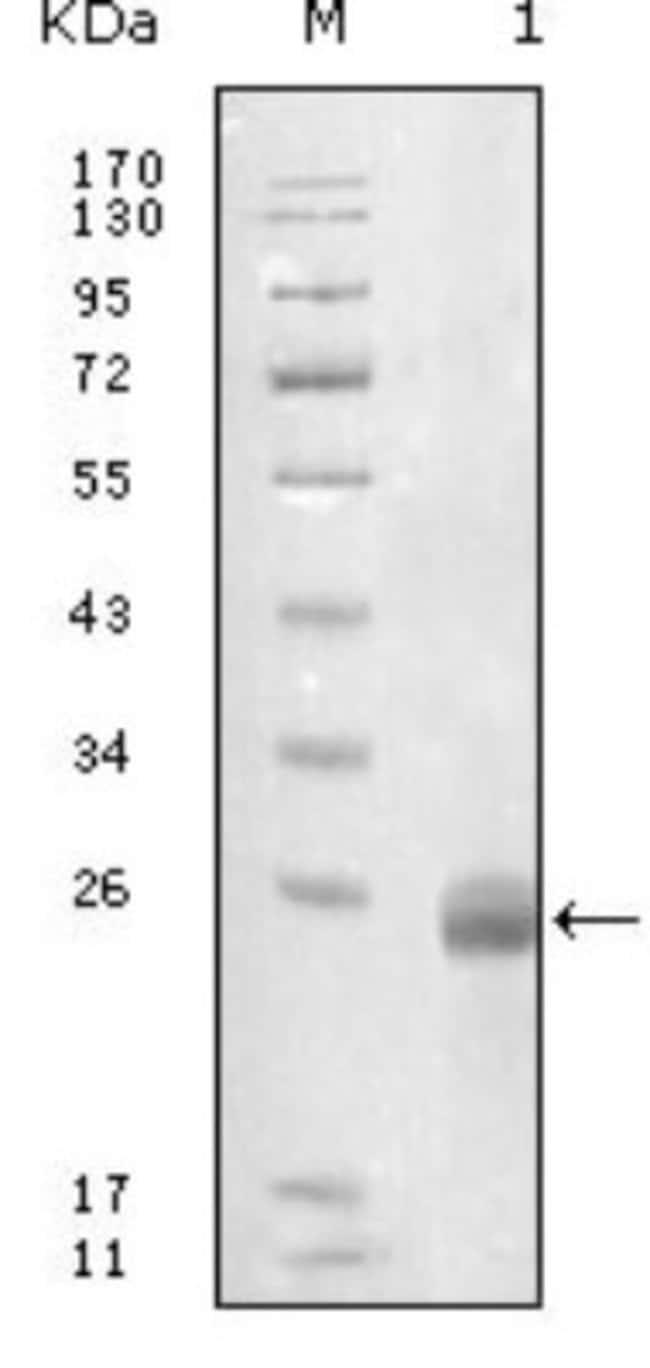 anti-Fibulin 5/DANCE, Clone: 1G6A4, Novus Biologicals 0.1mL; Unlabeled:Life