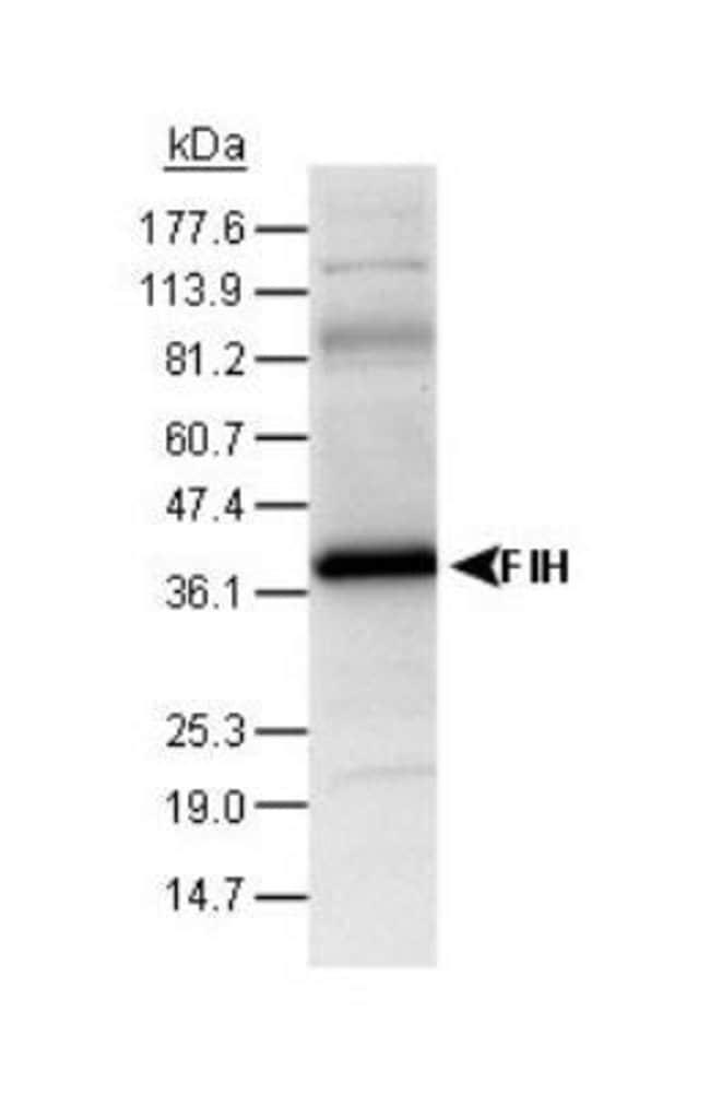 anti-FIH-1/HIF-1AN, Polyclonal, Novus Biologicals:Antibodies:Primary Antibodies