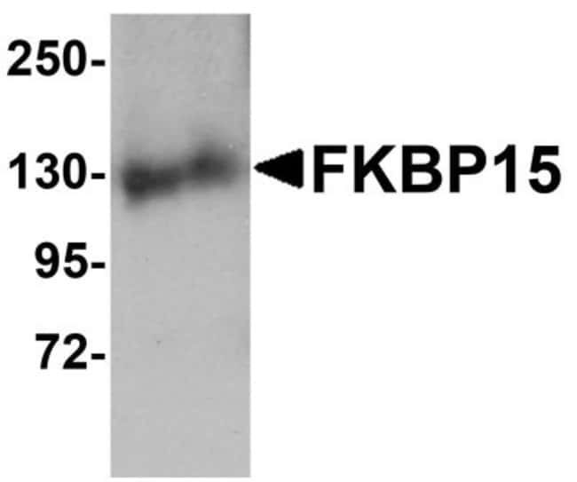 anti-FKBP15, Polyclonal, Novus Biologicals 0.1mg; Unlabeled:Life Sciences