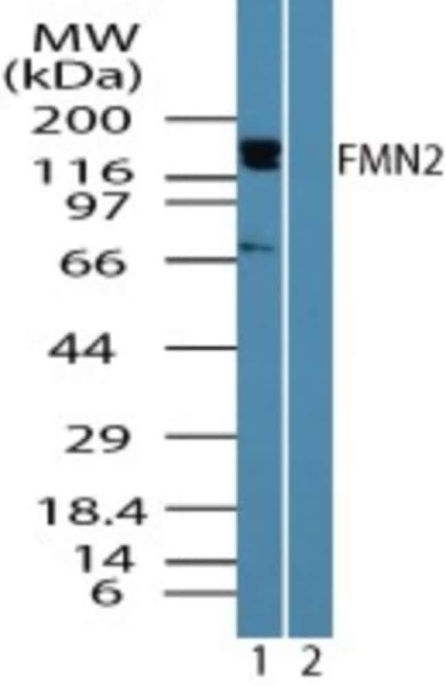 anti-FMN2, Polyclonal, Novus Biologicals:Antibodies:Primary Antibodies