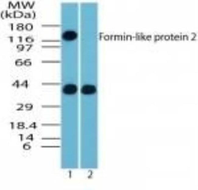 anti-FMNL2, Polyclonal, Novus Biologicals:Antibodies:Primary Antibodies