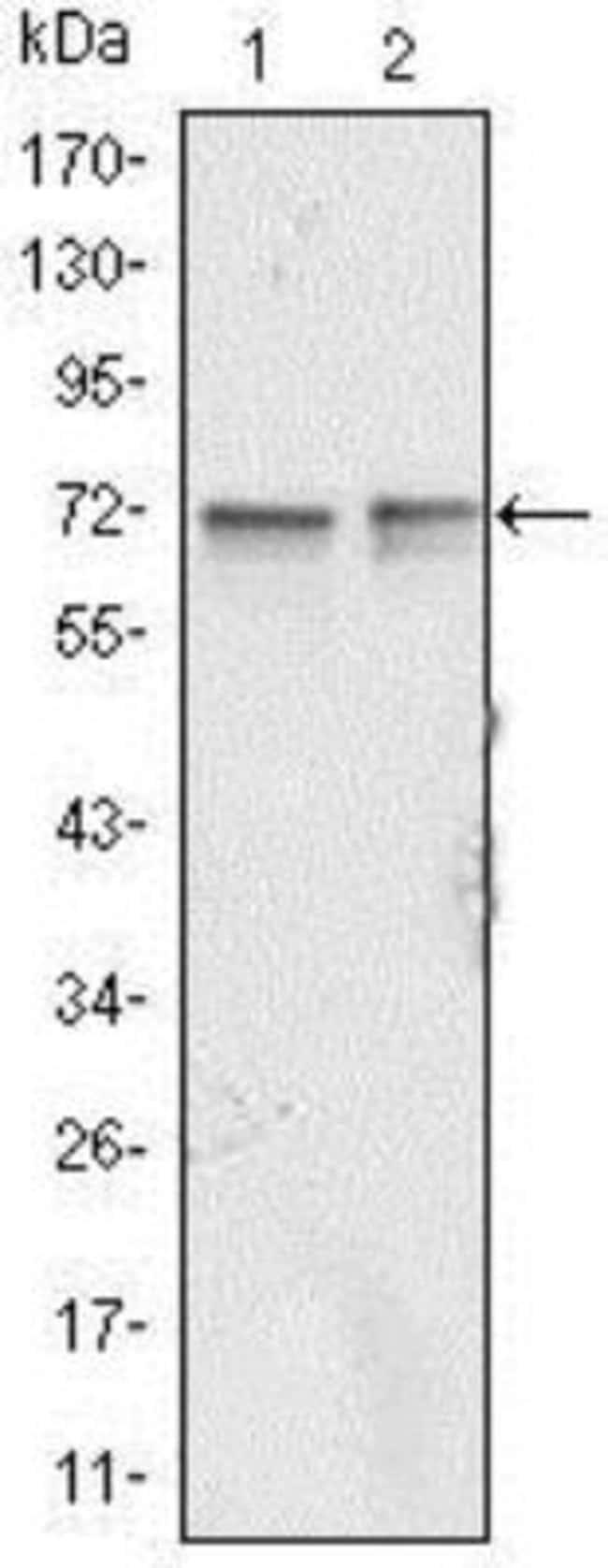 anti-FMRP, Clone: 4G9, Novus Biologicals 0.1mL; Unlabeled:Antibodies
