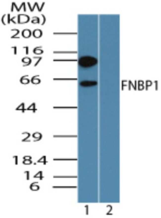 anti-FNBP1, Polyclonal, Novus Biologicals:Antibodies:Primary Antibodies