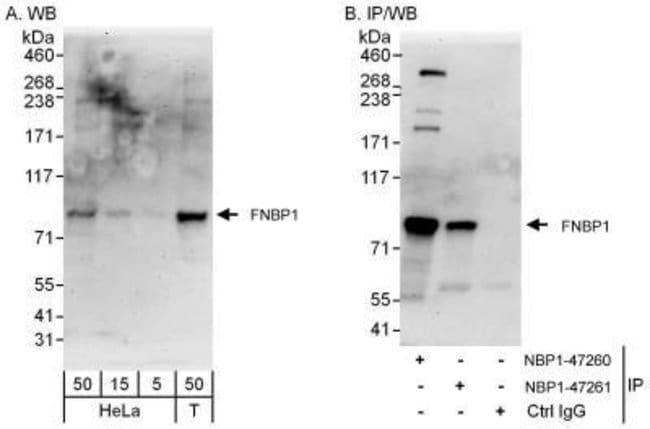 anti-FNBP1, Polyclonal, Novus Biologicals 0.1mg; Unlabeled:Life Sciences