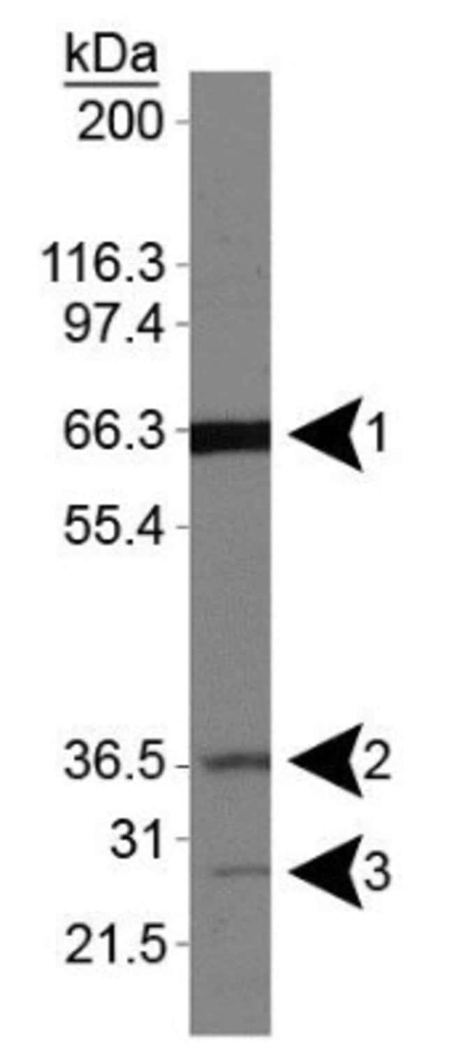 anti-Folliculin, Polyclonal, Novus Biologicals:Antibodies:Primary Antibodies