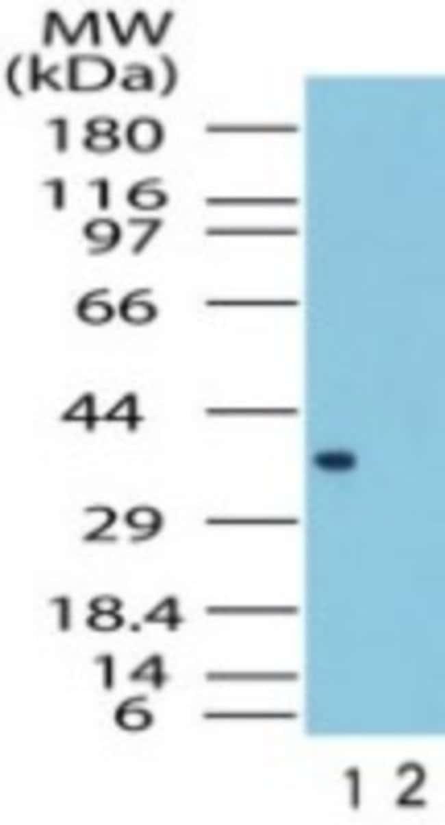 anti-FPR1, Polyclonal, Novus Biologicals:Antibodies:Primary Antibodies
