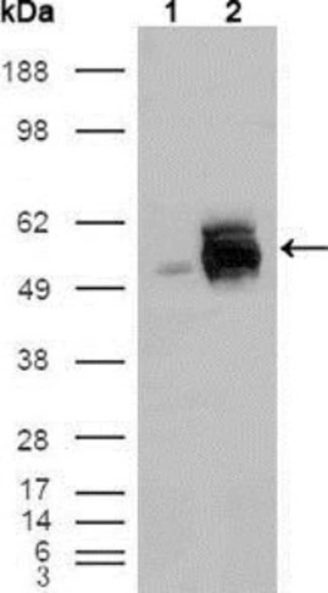 anti-Frk, Clone: 1A8H2C12, Novus Biologicals 0.1mL; Unlabeled:Life Sciences