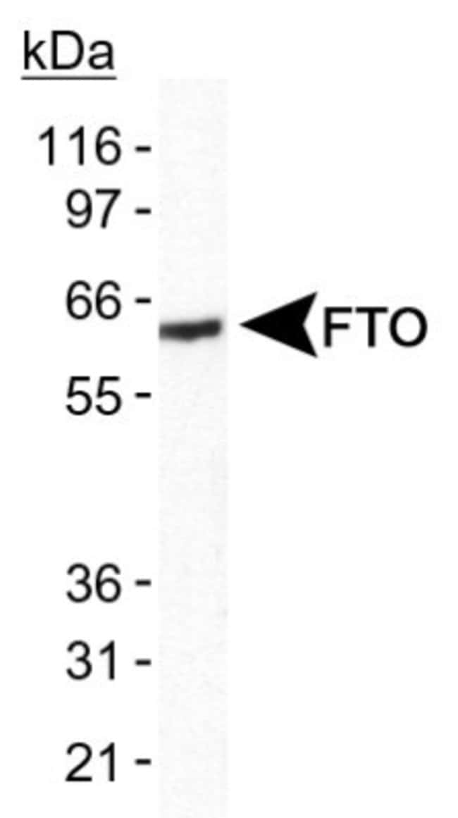 anti-FTO, Polyclonal, Novus Biologicals:Antibodies:Primary Antibodies