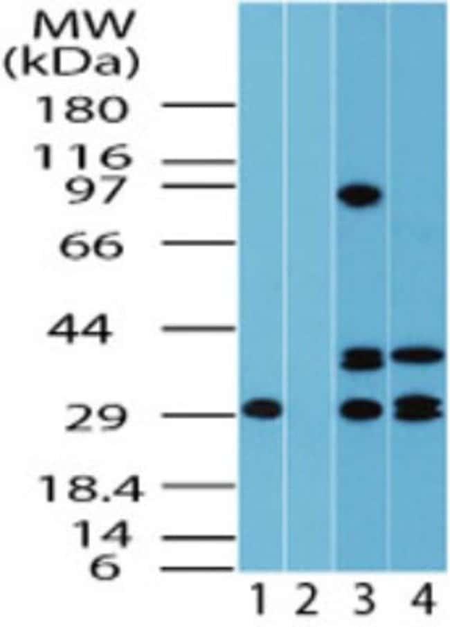 anti-FUZ, Polyclonal, Novus Biologicals:Antibodies:Primary Antibodies