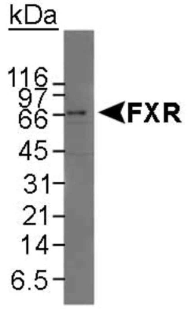 FXR/NR1H4 Rabbit anti-Human, Mouse, Polyclonal, Novus Biologicals:Antibodies:Primary