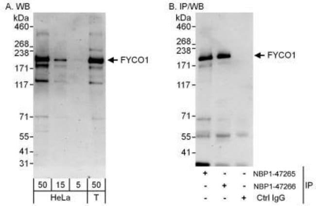 anti-FYCO1, Polyclonal, Novus Biologicals 0.1mL; Unlabeled:Life Sciences