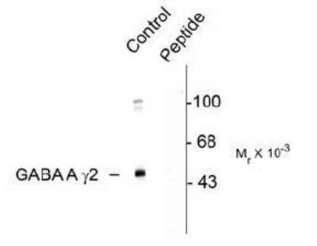 anti-GABA-A R gamma 2 (p Ser327), Polyclonal, Novus Biologicals 100uL;