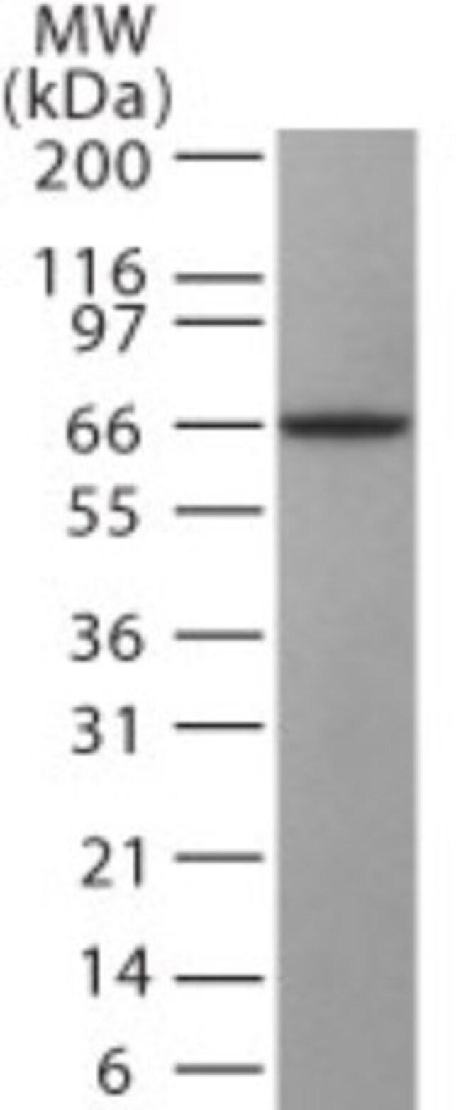anti-GAD1/GAD67, Polyclonal, Novus Biologicals:Antibodies:Primary Antibodies
