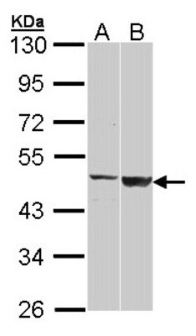 anti-GAL3ST1, Polyclonal, Novus Biologicals 0.1mL; Unlabeled:Antibodies