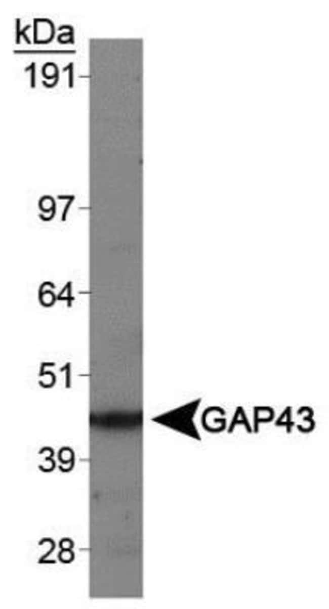 anti-GAP-43, Polyclonal, Novus Biologicals 0.1mL; Unlabeled:Life Sciences