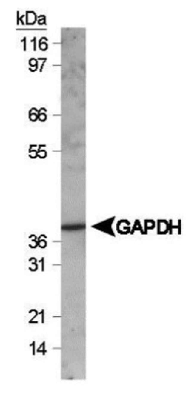 anti-GAPDH, Polyclonal, Novus Biologicals:Antibodies:Primary Antibodies