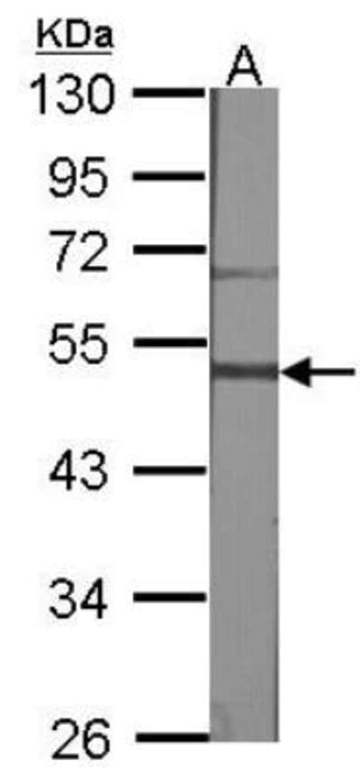 Gastrin-releasing Peptide R/GRPR Rabbit anti-Human, Mouse, Rat, Polyclonal,