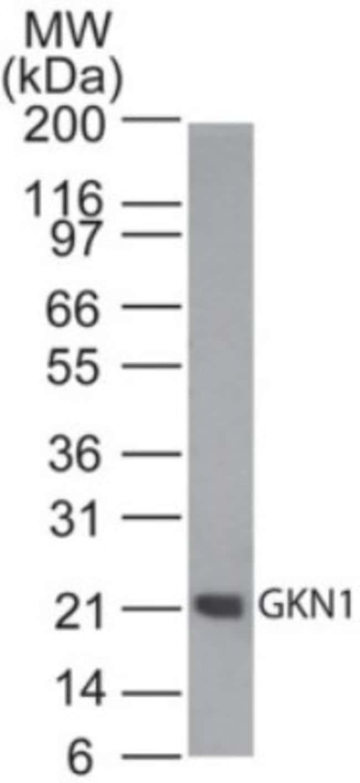 anti-Gastrokine 1, Polyclonal, Novus Biologicals:Antibodies:Primary Antibodies