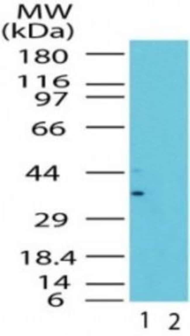 anti-GBL, Polyclonal, Novus Biologicals:Antibodies:Primary Antibodies