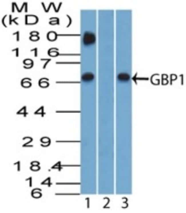 anti-GBP1, Polyclonal, Novus Biologicals:Antibodies:Primary Antibodies