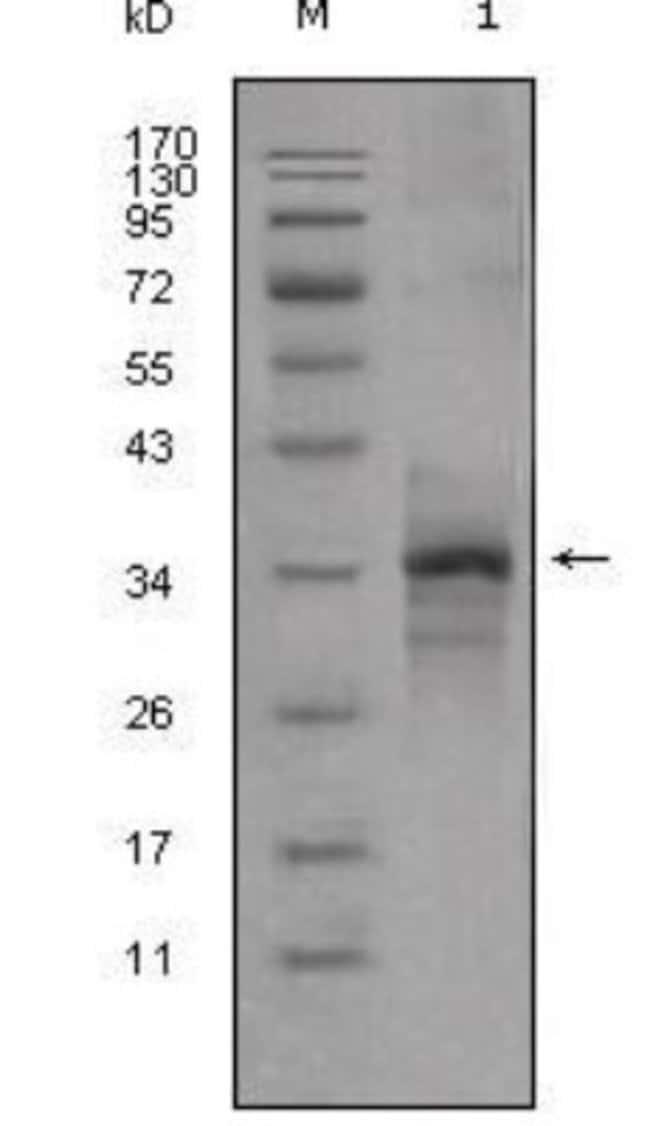 anti-GDF-8/Myostatin, Clone: 6H12, Novus Biologicals 0.1mL; Unlabeled:Life