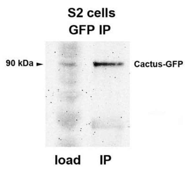 GFP Rabbit anti-Mouse, Nonspecies specific, C. elegans, Plant, Polyclonal,
