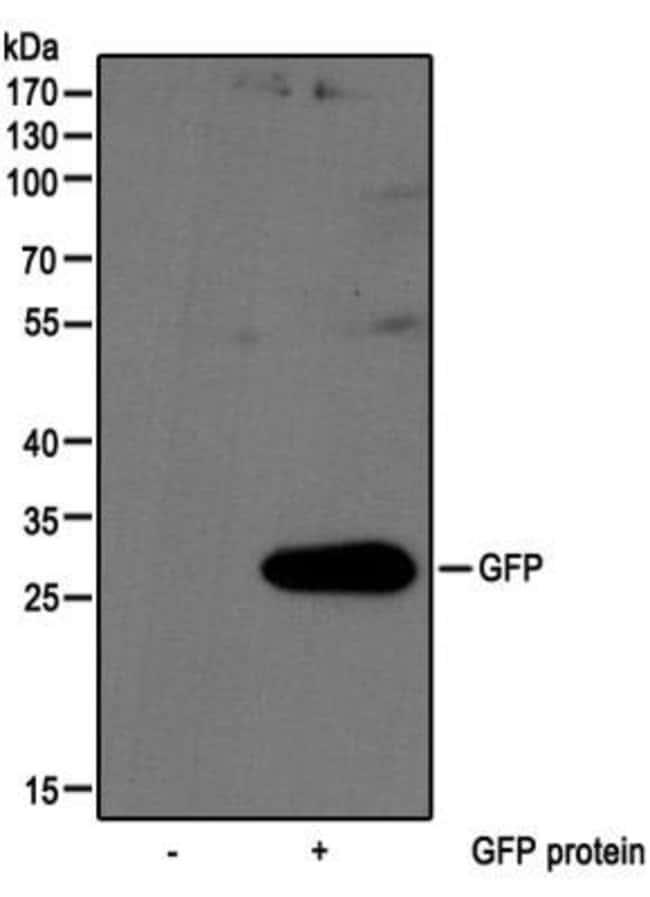anti-GFP, Polyclonal, Novus Biologicals:Antibodies:Primary Antibodies