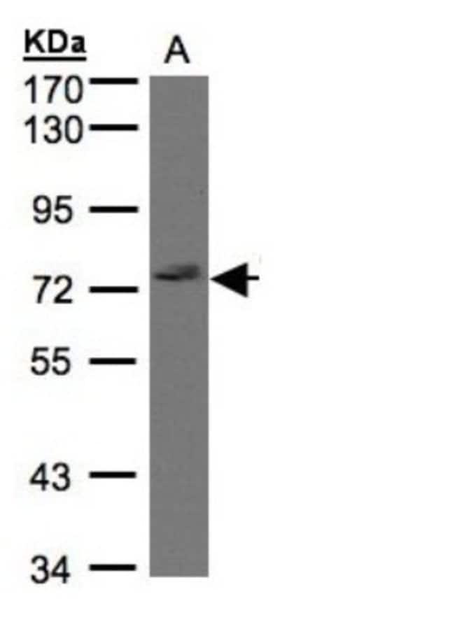 anti-GIMAP8, Polyclonal, Novus Biologicals 0.1mg; Unlabeled:Life Sciences