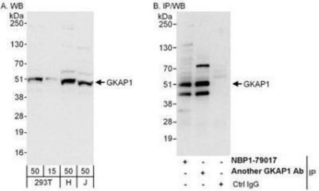anti-GKAP1, Polyclonal, Novus Biologicals 0.1mg; Unlabeled:Life Sciences