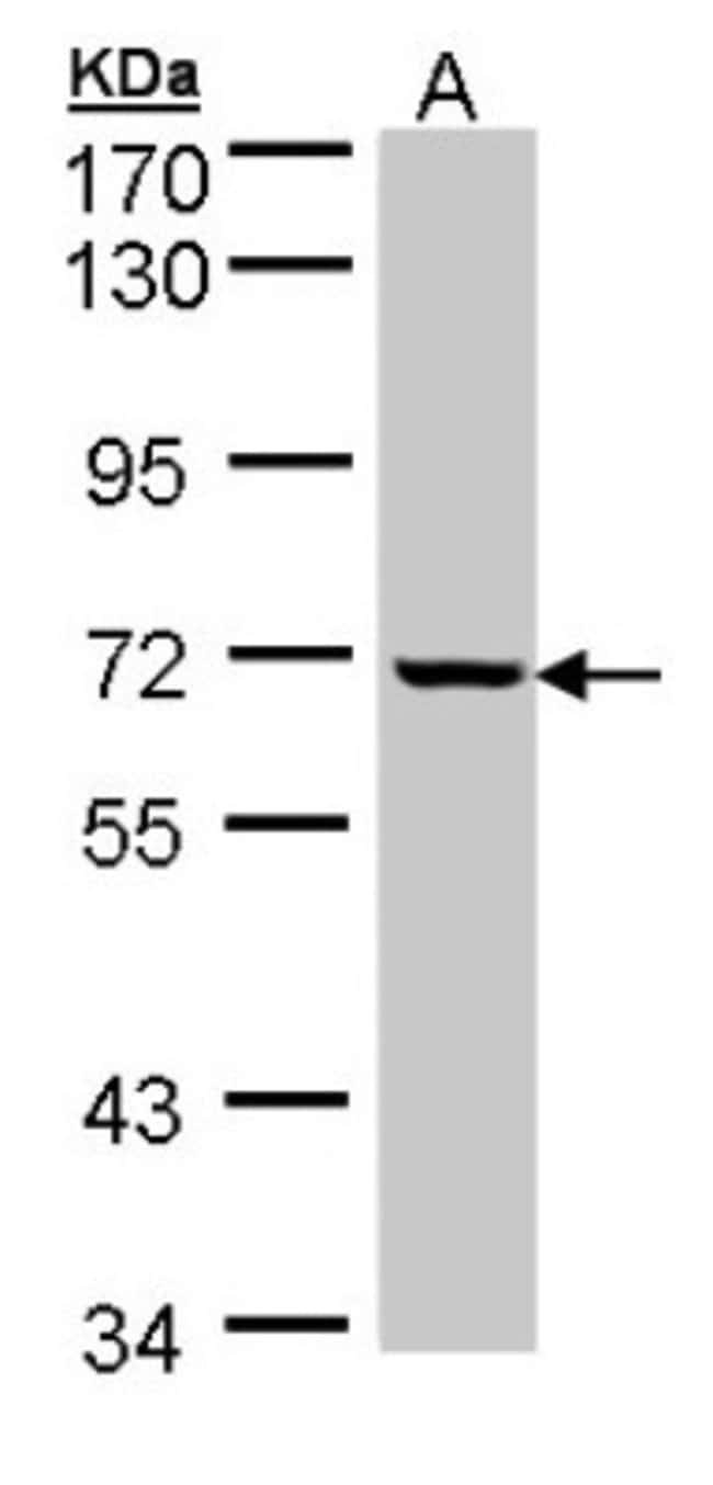 anti-GLE1, Polyclonal, Novus Biologicals 0.1mg; Unlabeled:Life Sciences
