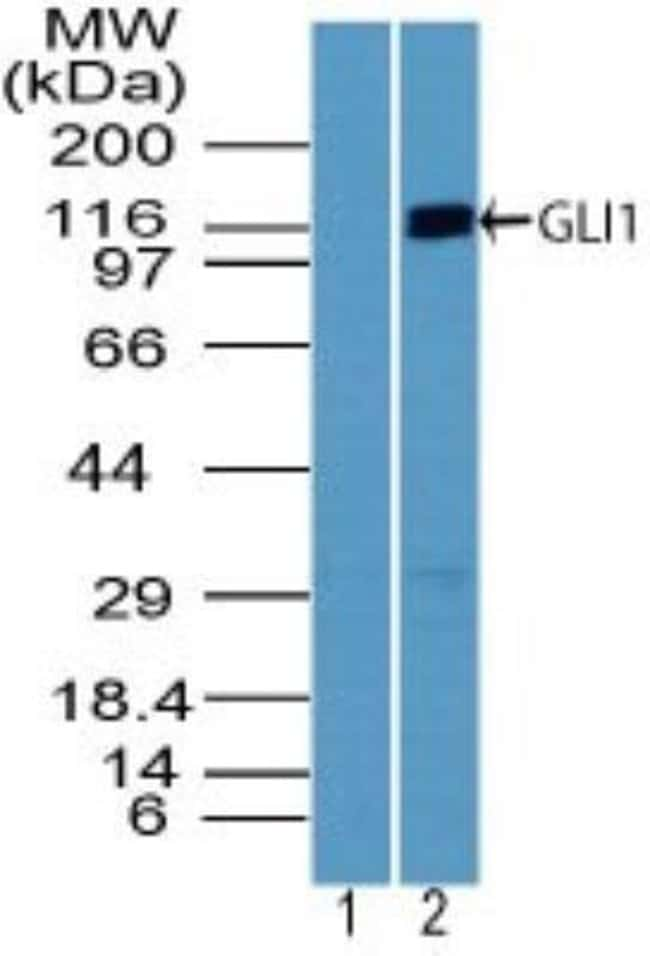 GLI-1 Rabbit anti-Human, Polyclonal, Novus Biologicals:Antibodies:Primary
