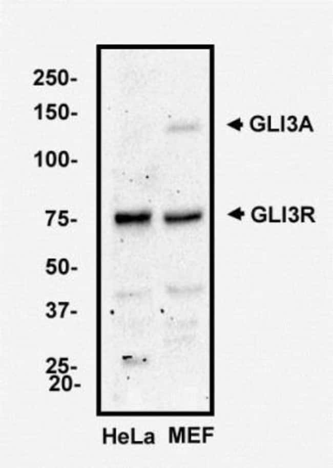 anti-GLI-3, Polyclonal, Novus Biologicals:Antibodies:Primary Antibodies