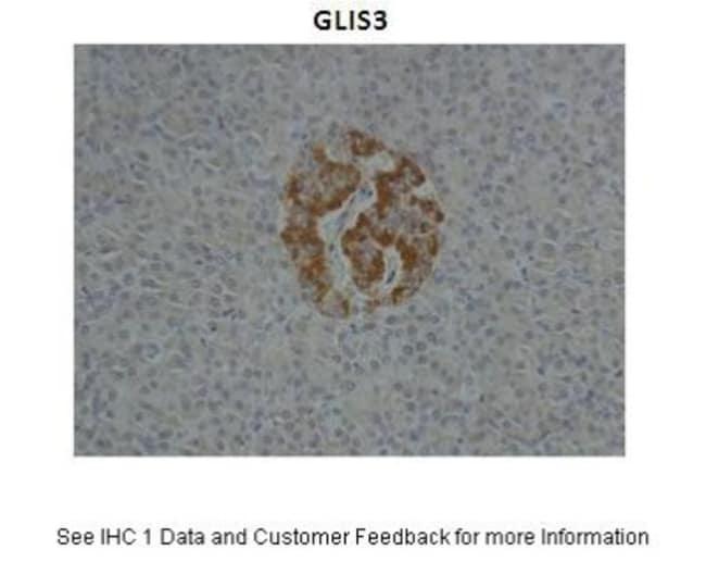 GLIS3 Rabbit anti-Human, Mouse, Rat, Canine, Equine, Guinea Pig, Rabbit,