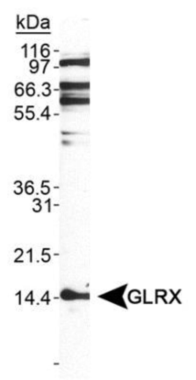 anti-Glutaredoxin 1/GLRX1, Polyclonal, Novus Biologicals:Antibodies:Primary