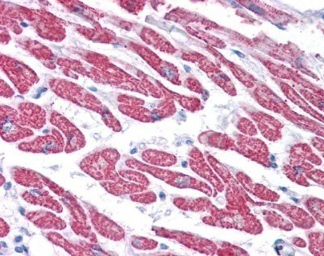 Glutathione Peroxidase 4/GPX4 Rabbit anti-Human, Mouse, Rat, Bovine, Guinea