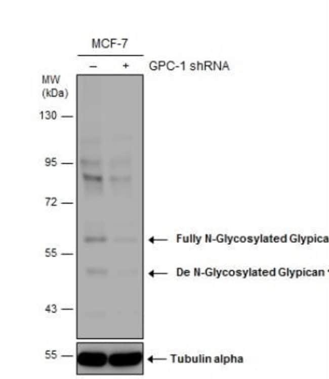 Glypican 1 Rabbit anti-Human, Mouse, Rat, Polyclonal, Novus Biologicals