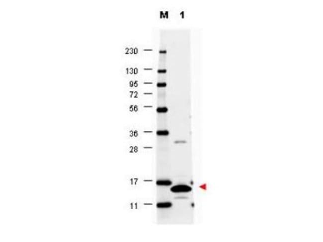 anti-GM-CSF, Polyclonal, Novus Biologicals 0.1mg; Unlabeled:Life Sciences