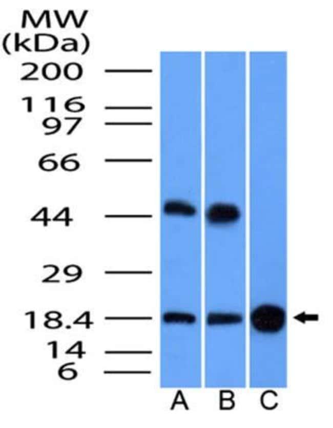 anti-GMFG, Polyclonal, Novus Biologicals:Antibodies:Primary Antibodies