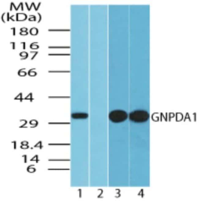 anti-GNPDA1, Polyclonal, Novus Biologicals:Antibodies:Primary Antibodies
