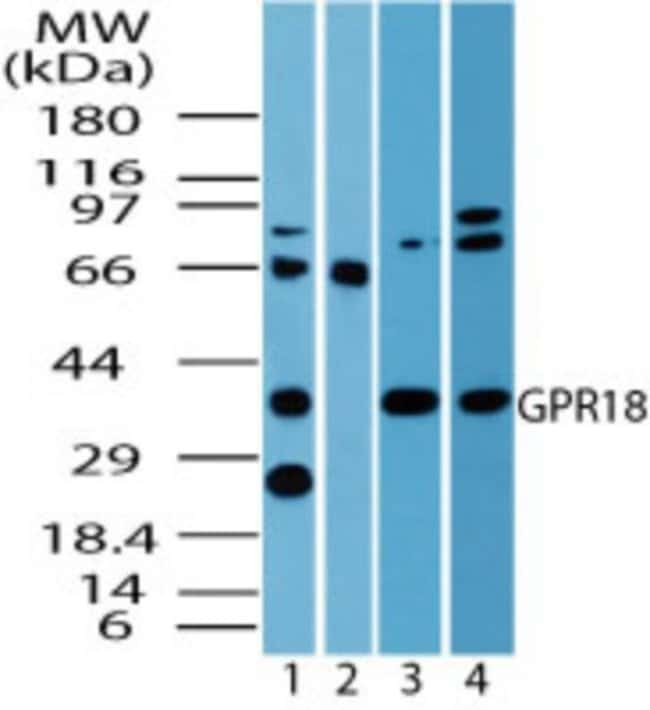 anti-GPR18, Polyclonal, Novus Biologicals:Antibodies:Primary Antibodies