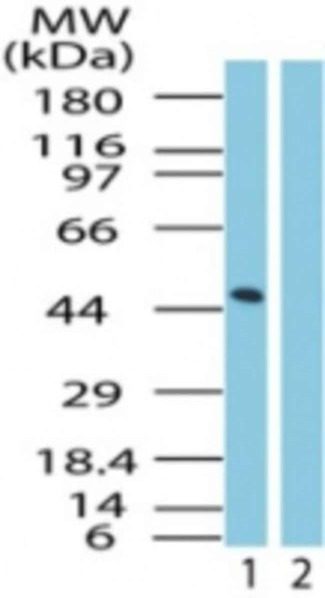 anti-GPR83, Polyclonal, Novus Biologicals:Antibodies:Primary Antibodies