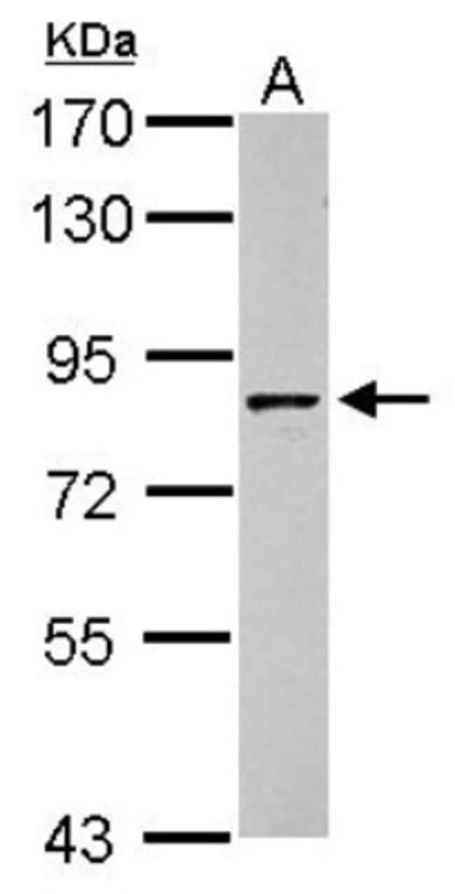 anti-Granulin, Polyclonal, Novus Biologicals 0.1mL; Unlabeled:Life Sciences