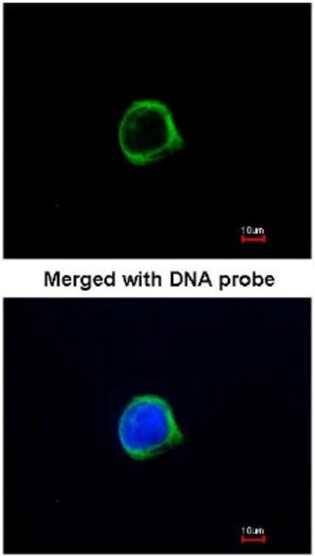 anti-GRASP1, Polyclonal, Novus Biologicals 0.1mL; Unlabeled:Life Sciences