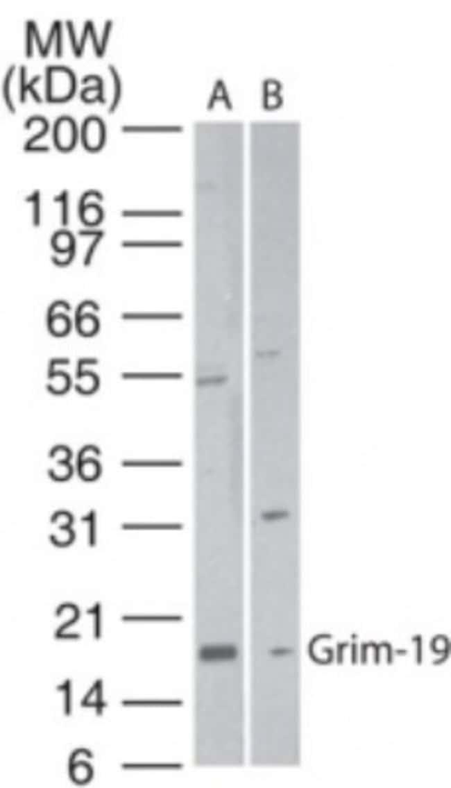 anti-GRIM19, Polyclonal, Novus Biologicals:Antibodies:Primary Antibodies