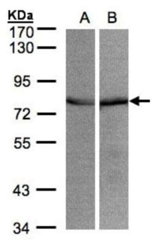 anti-GRP75/HSPA9B/Mortalin, Polyclonal, Novus Biologicals 0.1mL; Unlabeled:Life