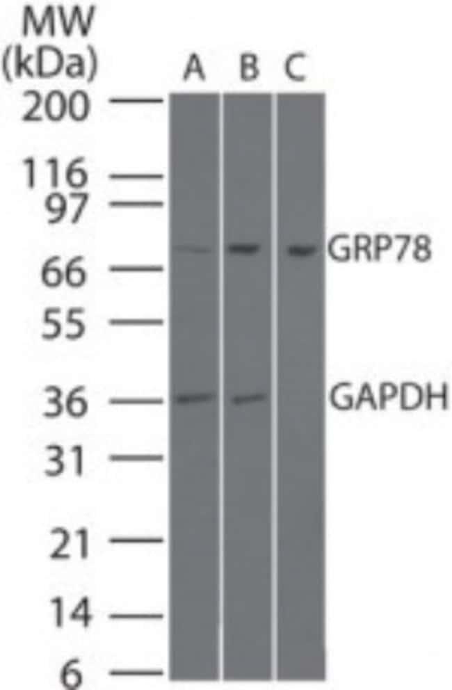 anti-GRP78/HSPA5, Polyclonal, Novus Biologicals:Antibodies:Primary Antibodies