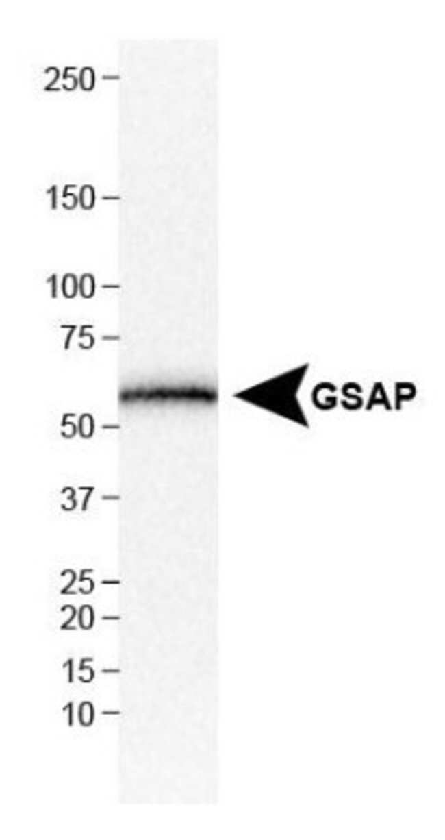 anti-GSAP, Polyclonal, Novus Biologicals:Antibodies:Primary Antibodies