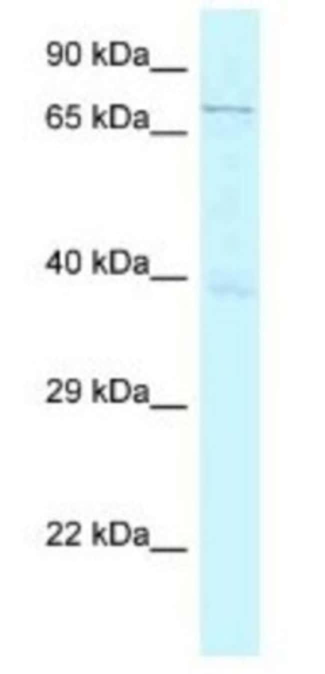 GSG2 Rabbit anti-Human, Polyclonal, Novus Biologicals 20µL; Unlabeled